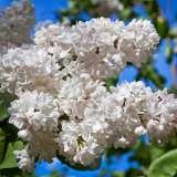 Lilac-Cora-Brandt-16