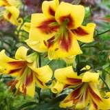 Lilium Robert Swanson16