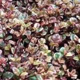 Lophomyrtus Rainbows End