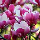 Magnolia-Cameo-16