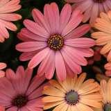 Osteospermum Serenity Rose Magenta