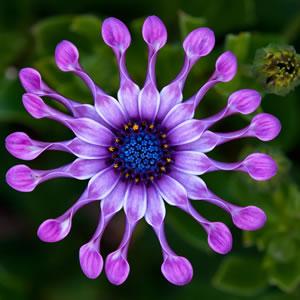 Osteospermum Spider Purple - Garden Express Australia