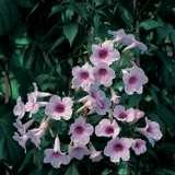 Pandorea-Pink-Magic-16