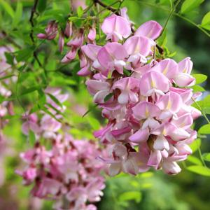 Robinia bella rosea garden express robinia bella rosea mightylinksfo