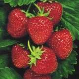 Strawberry_Juliette