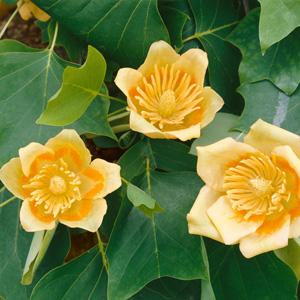 Tulip Tree Garden Express