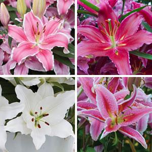 Lilium Oriental Collection