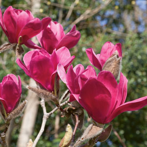 Magnolia Vulcan (pbr)