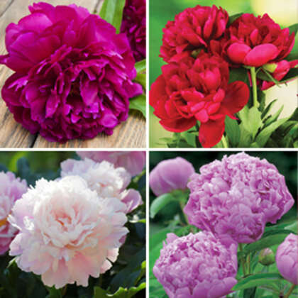 Peony Rose Collection