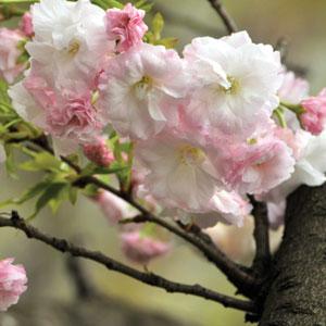 Prunus Serrulata Shimidsu Sakura