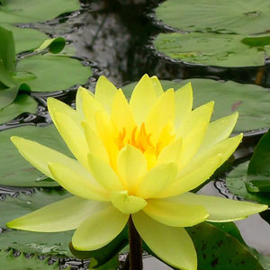 Water Lily Chromatella