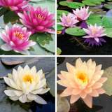 Water Lily Collection 4 Plants