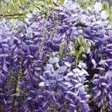 Wisteria Floribunda Blue