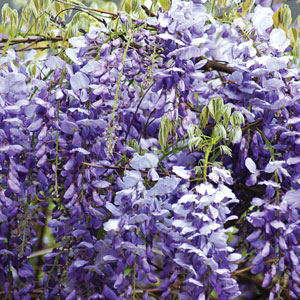 how to grow blue japanese wisteria from seed