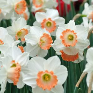 Daffodil Pink Charm 111 - Garden Express Australia