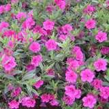 Calibrachoa-Caloha-Double-Rose-16