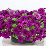 Calibrachoa-Cruze-Violet-16