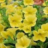 Calibrachoa-Cruze-Yellow-16