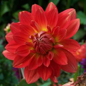 Dahlia Tara Tahi Ruby For Waterlily Coll 15 - Garden Express Australia