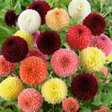 Dahlia Ball Mixed Pkdahpmx
