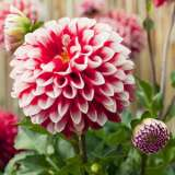 Dahlia_Fire_and_Ice_11