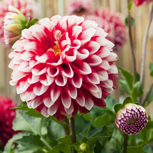 Dahlia Fire And Ice 11