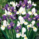 Dutch Iris Blue & White Blend – Pre-order