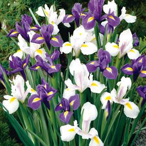 Dutch Iris Blue White Blend 15 - Garden Express Australia