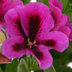 Geranium Solstice Purple