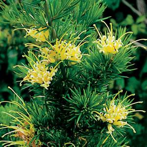 Grevillea Molonglo Garden Express