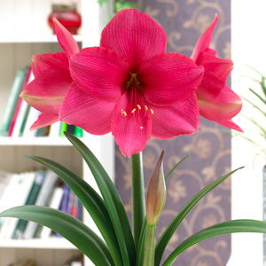 Hippeastrum Pink Surprise