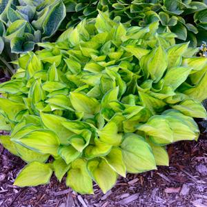 Hosta Lancifolia Aurea
