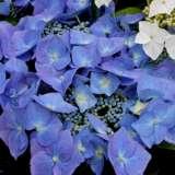 Hydrangea-macrophylla-Blaumeise-16