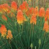 Kniphofia Winter Cheer