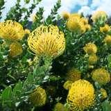 Leucospermum-Carnival-Yellow-I6