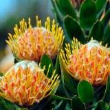 Leucospermum-Mardi-Gras-Ribbons-16