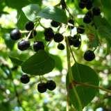 Maqui-Berry-By-Morrana---Own-work,-GFDL,via-WIKI