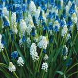 Muscari Blue White Blend 15 ST