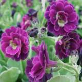 Primula Double Purple