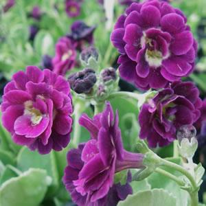Primula Double Purple
