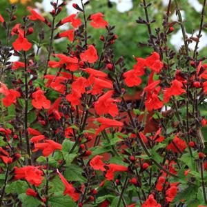 Salvia Crimson & Black