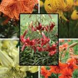 Lilium Tiger Lily Mixed