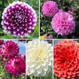 Dahlia Ball Collection