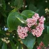 Rondeletia-amoena.16