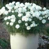 Argyranthemum Super Duper