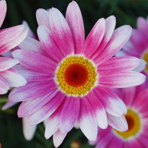 Argyranthemum Surprise Surprise 16