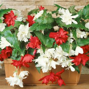 Begonia Tenella White