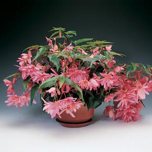 Begonia Tenella Pink