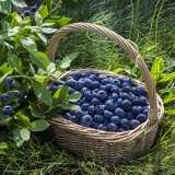 Blueberry Denise 16