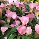 Calla Pacific Pink16